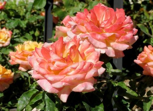 Dos rosas en el verde