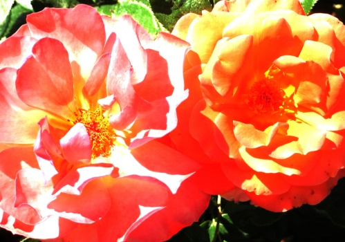 Rosas de fuego