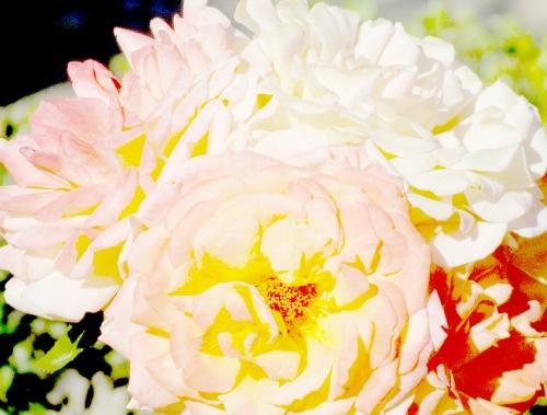 Tres rosas suaves